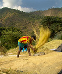 threshing rice